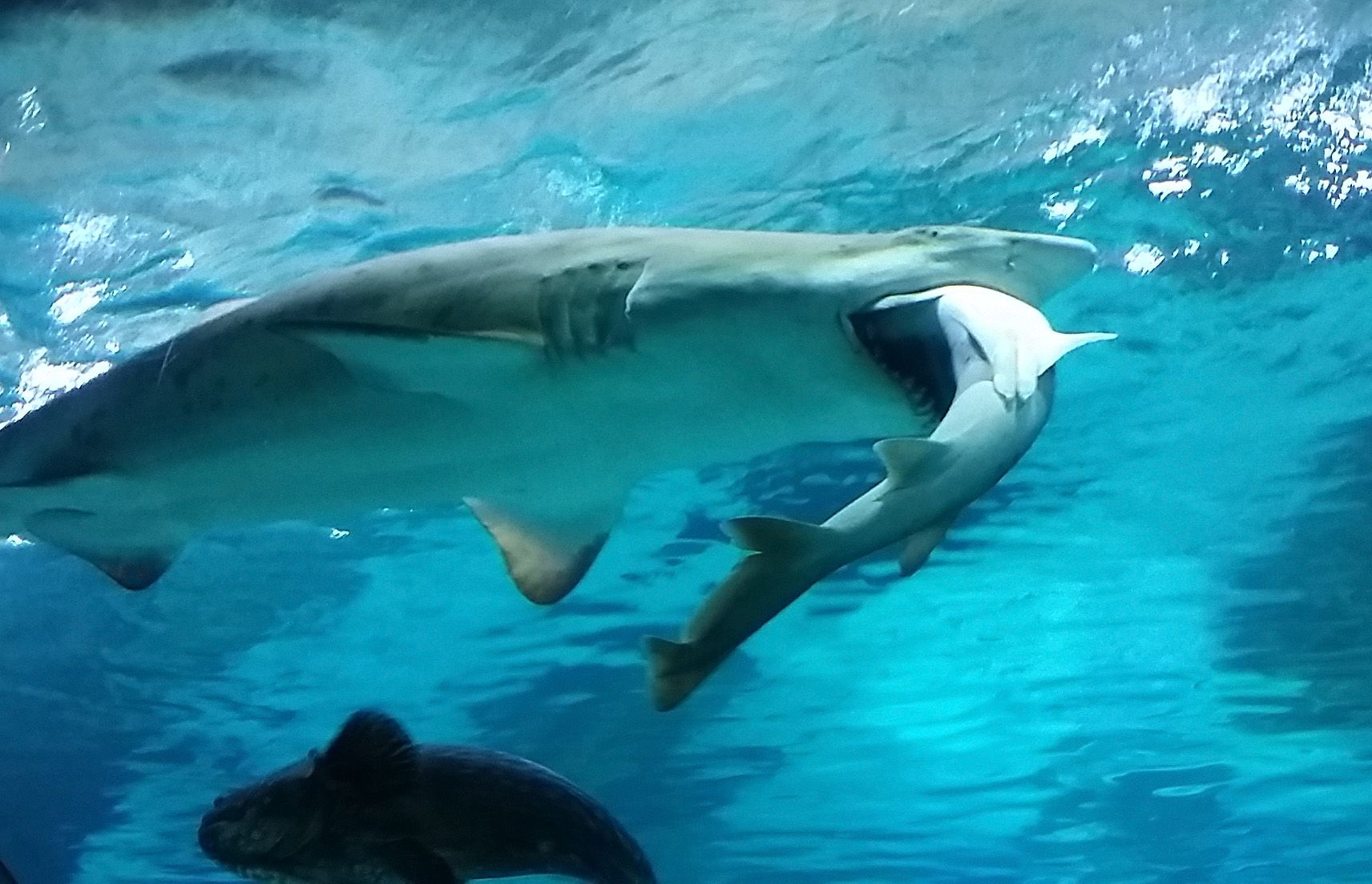 Image result for Female Shark in Seoul Aquarium Eats Male Shark Because He Kept Bumping Into Her